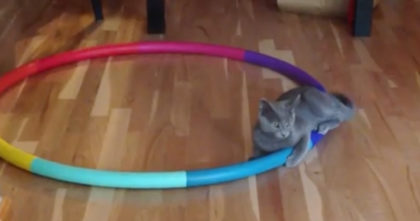 Cat gets stuck in hula hoop, but it just NEVER ENDS… Now watch when the cat tries to escape!