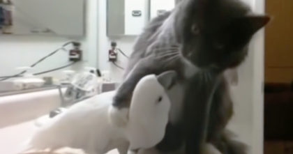 Cockatoo desperately trying to befriend cat, but when he lifts his paw up… It's The CUTEST EVER