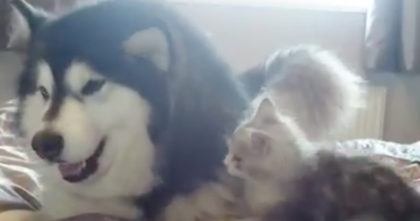 Kitten is attempting to attack a big fluffy doggie… Now watch the results, this is the CUTEST EVER!!
