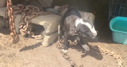 Puppy bound with chains crying out for people to help… Now watch when her request is answered!