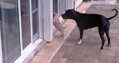 Puppy is stuck outside and can't get in. Now watch as mother aproaches…