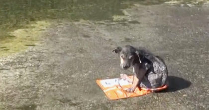 Puppy was abused and thrown into the canal for dead… Now watch as rescuers approach him