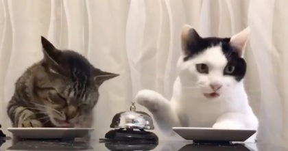 Their cats wanted a treat, but when you see what they do, It's the funniest thing ever… Hahaha!!