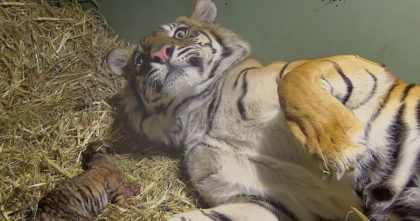 Tiger was giving birth to her baby, but when they looked closer… They gasped when they saw twins!
