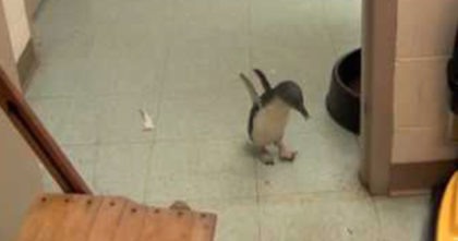 Tiny Penguin Has SWEETEST Reaction When She Sees Her Favorite Person – I Can't Stop Smiling!