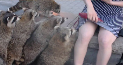 She's trying to do a photoshoot, but when raccoons notice… FUNNIEST thing I've ever seen!!