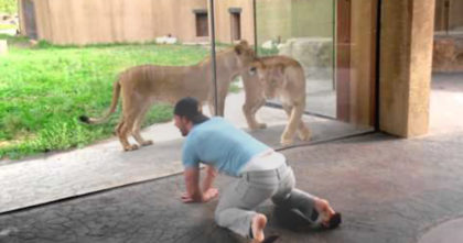 Man starts dancing around like a monkey in front of lion cage at zoo… Now watch how the lions react!