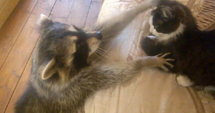 Raccoon Walks Up To The Sleeping House Cat, His Next Move Will Leave You In Stitches!
