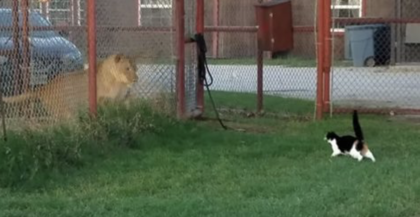 Cat moves close to him so he can pet her, until she notices the lion cage next-door and freaks out
