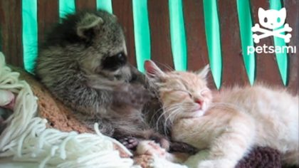 Raccoon made friends with kitten, but what they record him doing next is unexpected and adorable