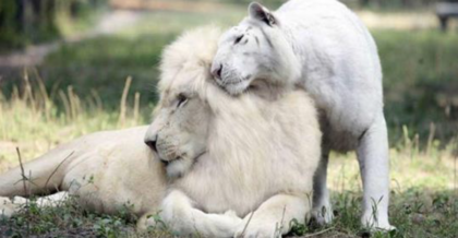 White Tiger and White Lion have babies together, but are the results adorable, or something terrible?