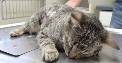 Cat was struck down by a car, but when they take him to get X-Rays, Then vet realize just how bad it is