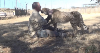 Cheetah walks up to man he hasn't seen in a year, now watch cheetah's reaction to him coming home