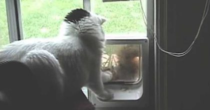 Fearless squirrel tries to break into cat's home, but then the cat sees him pawing at her door
