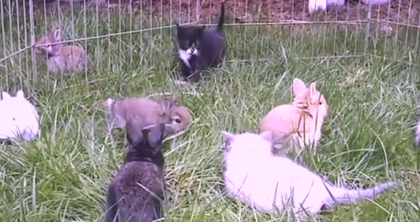 They introduced kittens to the bunnies – when they see what they're doing, they just can't help it
