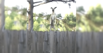 Man Hears Someone Jumping On Neighbors Trampoline, Then He Sees It Behind The Fence, LOL!!