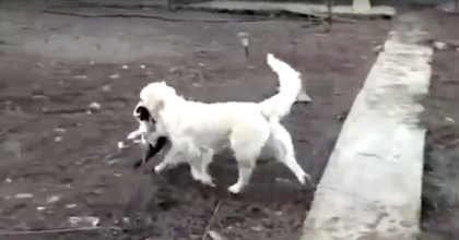 Man walks outside and sees the dog carrying an animal towards him, but then he recognizes it