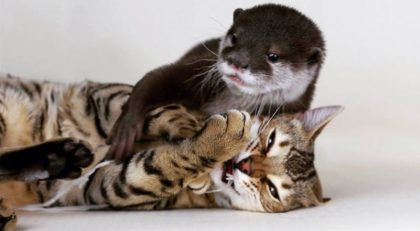 Otter Met Bengal Cat For The First Time, When They See Each Other, It's Seriously The Cutest Thing Ever!