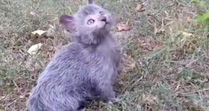 'Strange' looking kitten almost looks fake at first glance, then you take a closer look see he's real