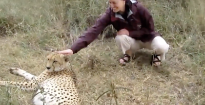 Watch The Reaction When A Human Reaches His Hand In And Pets The Rescue Cheetah… Awwww!