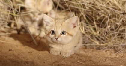 Wild Sand Kittens Were Just Caught On Camera For The First Time Ever And They're Priceless