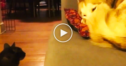 WATCH: This Cat Notices A Husky Dog Laying On The Couch… What He Does Next?? It's Just TOO Cute!!
