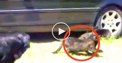 Two Cats Were Violently Fighting, But Then Someone Came To Save The Day! AMAZING…