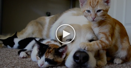 This Dog Is LUCKY, He Has 3 Furry Friends And They Won't Leave Him Alone… Just WATCH.