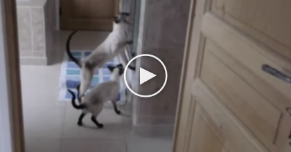 She's Trying To Take A Shower, But Then Their Siamese Cats Walk In And It's ALL Over… LOL!