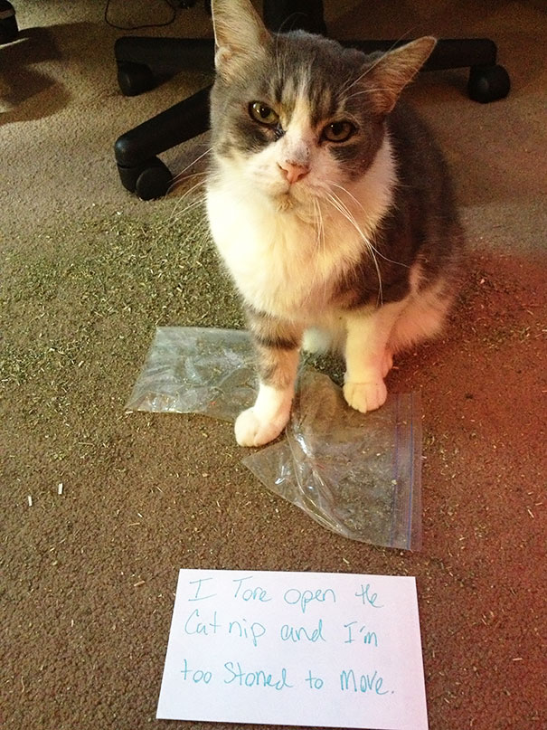 Pictures-Of-Cats-Confessing-To-Crimes-17
