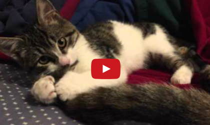 This 6-Toed Rescue Kitten Cannot Ignore The Wagging Tail, So He Does Something ADORABLE…