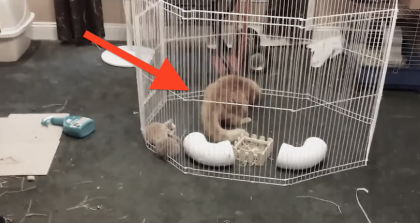Just Wait Till You See What Happens When This Cat Jumps In The Pen… Oh My Goodness!