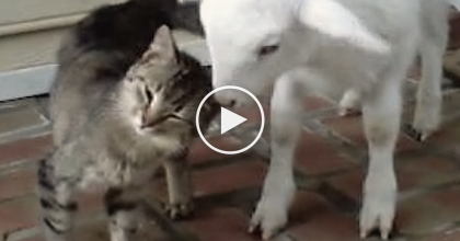 Baby Lamb Walks Up To Their Cat, So They Started Recording…The Results? Just WATCH And See!!