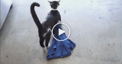 He Lost His T-Shirt, But Only For The Cutest Reason Ever! Just WATCH What This Cat Is Doing…