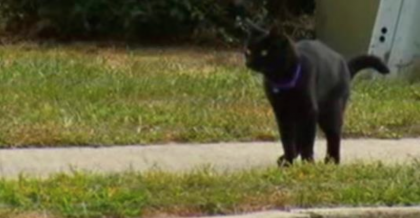 Cat Shows Up Every Day To Run With With His Favorite Human And Never Leaves His Side