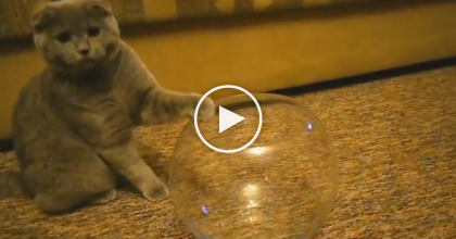 This Kitty Discovers The Fish Bowl And Proves That Cats Are Liquid, Just WATCH.