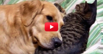 This Kitty Won't Leave The Dog Alone, But Just WATCH What He Does In Return! PRECIOUS…