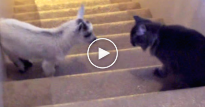 Baby Goat And Cat Meet For The First Time, But KEEP Watching For The Reaction… TOO Funny!