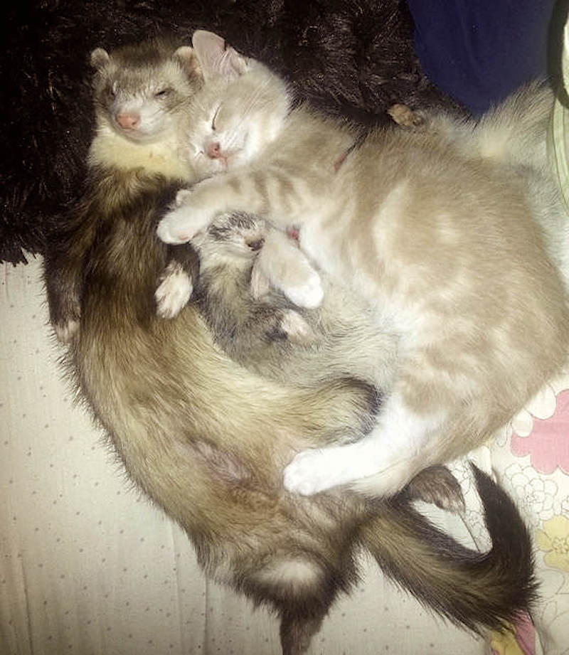cat-loves-ferrets
