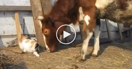They Noticed Their Cat Was Hanging Out With The Cow, So They Started Recording…