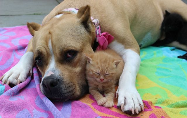 dog-adopted-kitten-cat-2