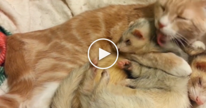 They Introduced Their Cat To The Ferrets, But They Didn't Expect This To Happen…