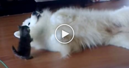 They Introduced This New Kitten To The Samoyed Doggie And Started Recording…