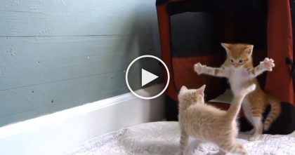 This Ginger Kitten Goes Completely Bazonkers, Just Watch Till 0:17… OMG.