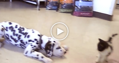 This Kitten And Dalmatian Puppy Meet For The First Time, WATCH Their Reaction!