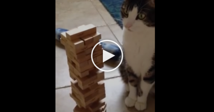This Tough Kitty Competitor Plays Jenga, But Watch What Happens At 1:13.