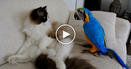 Watch Timo The Ragdoll Cat Meet A Fake Parrot For The First Time, Hilarious.
