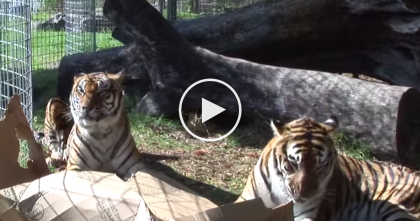 When 'BIG CATS' Are Introduced To Boxes, You Gotta See What Happens… Big Cats Like Boxes Too!