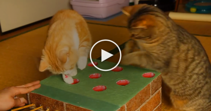 When The Cats See This Home-made Game, You've Got To See It… This Is Brilliant!