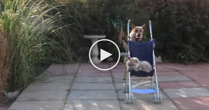 This Cat Gets In The Stroller, Now Watch And See What The Dog Does, OMG.